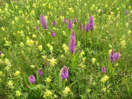 Rietorchis. grote ratelaar. weide. paard. weiland. kruidenrijk grasland. bloemrijk. natuurlijke weide. weidebeheer